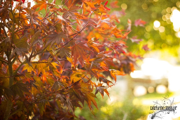 japanese_maple